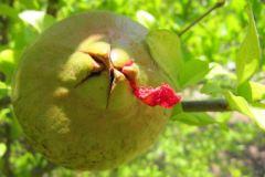 Granatapfel3